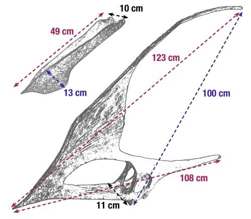 Tupandactylus_dimensions