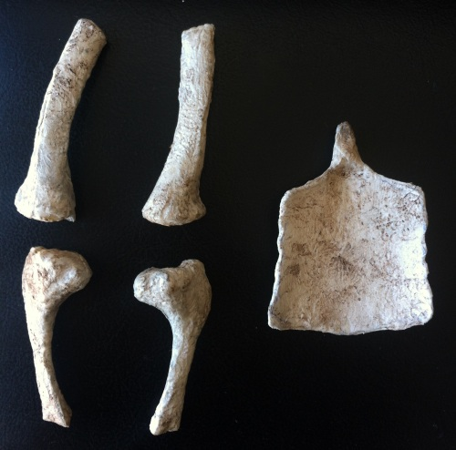 dorsal sternum
